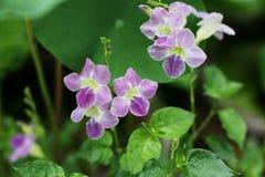 Violeta china, flor de Coromandel, primavera del Ganges, violeta filipina Imagen de archivo libre de regalías