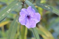 A violeta consideravelmente roxa Imagem de Stock Royalty Free