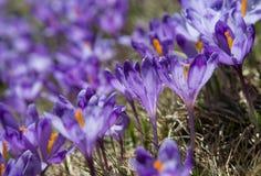 _Violeta da flor dos açafrões Fotografia de Stock Royalty Free