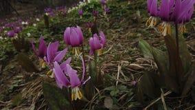 Violeta de diente de perro Japonicum del Erythronium