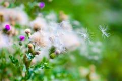 Violeta de florescência e cardo branco murcho com a vagem da semente do voo Cardo secado branco com as flores macias da erva dani imagens de stock royalty free