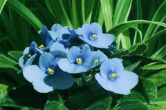 Violeta de florescência em um fundo das folhas verdes dos houseplants Fotografia de Stock Royalty Free