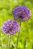 A violeta de jardim floresce em um cartão ao convite. Imagem de Stock Royalty Free
