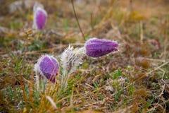 Violeta de Snowdrop no campo no orvalho da manhã Imagens de Stock Royalty Free