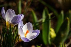 Violeta del azafrán Imagenes de archivo