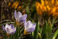 Violeta del azafrán Fotos de archivo libres de regalías