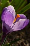 Violeta del azafrán Fotos de archivo