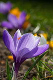 Violeta del azafrán Fotografía de archivo libre de regalías