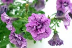 Violeta del hibisco Fotos de archivo libres de regalías