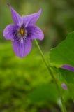 Violeta dulce Imagenes de archivo
