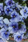 Violeta en el jardín fotografía de archivo