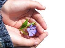 A violeta encontra-se na palma da criança Fotos de Stock Royalty Free
