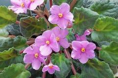a violeta está florescendo Imagem de Stock