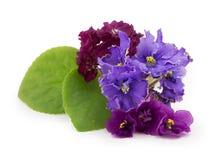 Violeta, flor Fotos de Stock