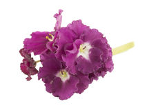Violeta, flor Foto de Stock Royalty Free
