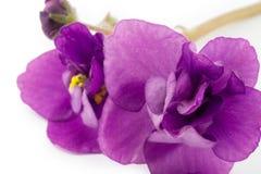 Violeta, flor Imagens de Stock Royalty Free