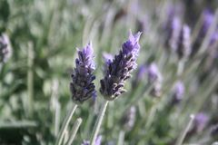 A violeta floresce a primeira foto fotografia de stock