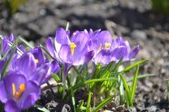 Violeta-Frühlingsblumen stockbild