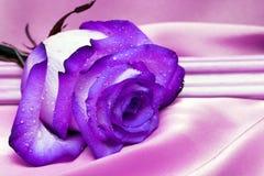 A violeta levantou-se com gotas da água Imagem de Stock