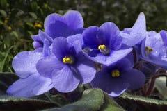 Violeta lilás de florescência no sol Imagem de Stock