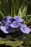 Violeta lilás de florescência no sol Foto de Stock Royalty Free