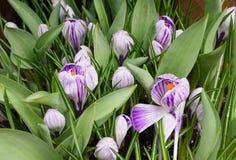 Violeta listrada e açafrões brancos Imagens de Stock