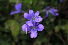 Violeta no outono imagem de stock