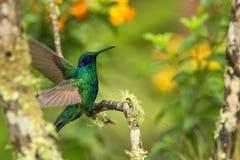 Violeta-oído verde que se sienta en la rama, colibrí del bosque tropical, Ecuador, pájaro que se encarama, pájaro minúsculo con l imagenes de archivo