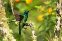 Violeta-oído verde que se sienta en la rama, colibrí del bosque tropical, Ecuador, pájaro que se encarama, pájaro minúsculo con l fotos de archivo libres de regalías