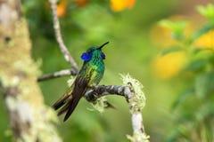 Violeta-oído verde que se sienta en la rama, colibrí del bosque tropical, Ecuador, pájaro que se encarama, pájaro minúsculo que d foto de archivo