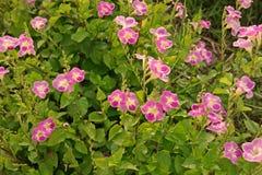 Violeta o dedalera china del coromandel o del arrastramiento Fotografía de archivo