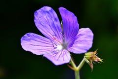 Violeta púrpura del geranio fotografía de archivo libre de regalías