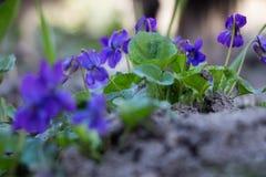 violeta Pequeño wildflower púrpura Foto de archivo
