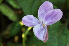 Violeta - primer Imagenes de archivo