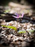 Violeta protegida Fotografia de Stock Royalty Free