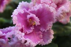 Violeta rosada fotos de archivo libres de regalías