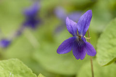 Violeta salvaje Imagen de archivo