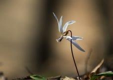 Violeta salvaje del punzón de acero en el bosque Foto de archivo libre de regalías