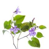 Violeta selvagem Fotografia de Stock