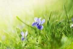 Violeta selvagem no prado ensolarado com chuva Fotos de Stock Royalty Free