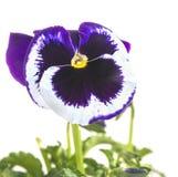 Violeta tricolor, o cacerolas de un esmalte en un fondo blanco foto de archivo libre de regalías
