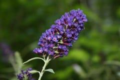 Violeta vibrante Foto de Stock Royalty Free