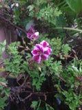 Violeta y blanco de la flor del payaso imagen de archivo