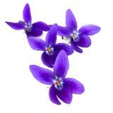 Violetas Foto de archivo