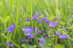 Violetas Imagens de Stock Royalty Free