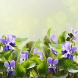 Violetas Fotos de archivo libres de regalías