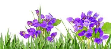 violetas Imágenes de archivo libres de regalías