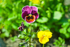 violetas Fotos de Stock Royalty Free
