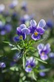 violetas Imagen de archivo libre de regalías