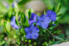 violetas Fotografía de archivo